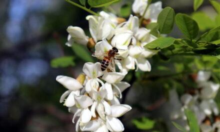 Bagrem nije samo drvo zanosnog mirisa već je i lek