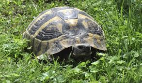 Hvatanje kornjača