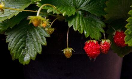 Kacudžo Niši: čišćenje krvi biljkama sa drugiih podneblja