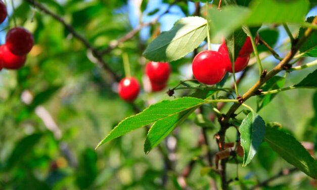 Fermentisan čaj od višnje ukusniji I zdraviji od zelenog