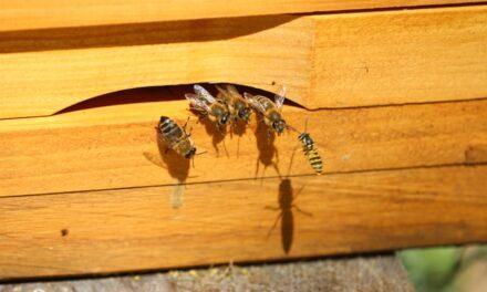 Api komora leči i dušu i telo, a pčelinji otrov bore