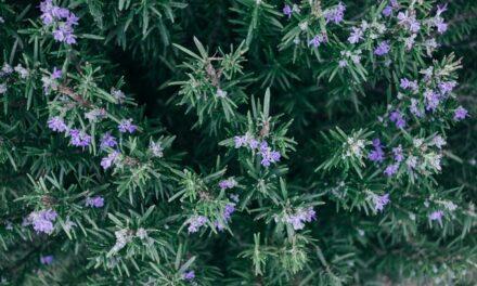 "Ruzmarin, biljka za bolji rad ""kefala"""
