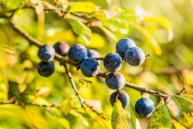 Trnjina: divlje voće za gvozdeno zdravlje