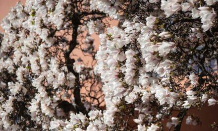 Magnolija, jedno od najstarijih cveća na planeti