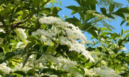 Crna zova, mirisni grm veliki kao apoteka
