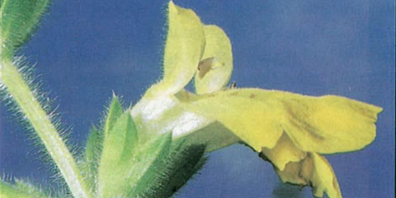Čistac kralja Milana, retke biljke Srbije