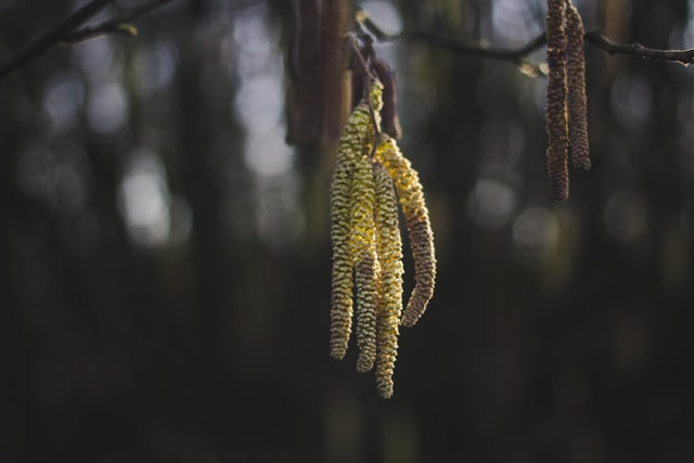 Leska, drvo vila koje ispunjava želje