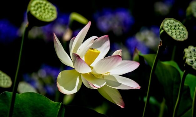 Lotos, božanski cvet neokrznut iskušenjima