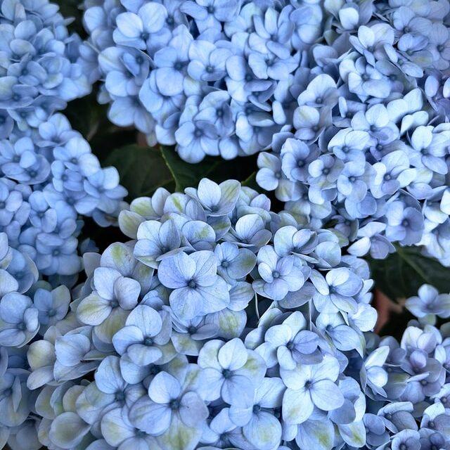 Hortenzija, cvet dama koje nisu uspele da se udaju