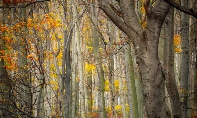 Breza, porodično drvo koje skida kilograme
