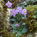 Ramonda nathalie čudesan cvet feniks