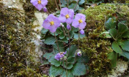 Ramonda, čudesne  balkanske biljke feniksi